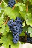 Druiven Royalty-vrije Stock Foto
