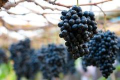 Druiven Royalty-vrije Stock Afbeeldingen
