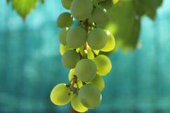 Druiven Royalty-vrije Stock Foto's