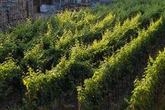 Druiven in backlight royalty-vrije stock foto's