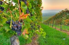 Druiven bij een wijnstok Royalty-vrije Stock Afbeeldingen