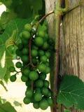 Druiven bij wijngaard Stock Afbeelding