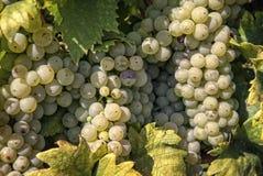 Druiven in de herfst Stock Foto