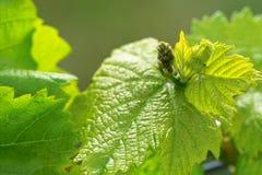 Druiven in de lente Stock Afbeeldingen
