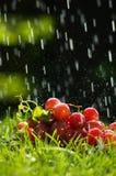 Druiven in de regen Royalty-vrije Stock Afbeeldingen
