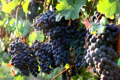 Druiven in de wijngaard Stock Afbeeldingen