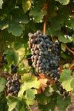 Druiven in de wijngaard Royalty-vrije Stock Afbeeldingen