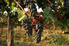 Druiven in de wijngaard Royalty-vrije Stock Fotografie