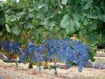 Druiven in de wijngaard Stock Afbeelding