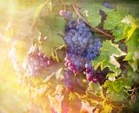 Druiven in de wijngaard Royalty-vrije Stock Foto's