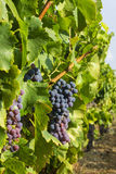 Druiven in de wijngaard Stock Foto