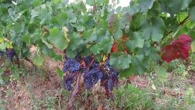 Druiven in de wijngaard stock video