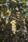 Druiven in de wijngaard klaar om wijn te maken Stock Foto's