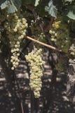 Druiven in de wijngaard klaar om wijn te maken Royalty-vrije Stock Foto