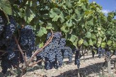 Druiven in de wijngaard klaar om wijn te maken Stock Afbeelding