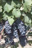 Druiven in de wijngaard klaar om wijn te maken Royalty-vrije Stock Afbeelding