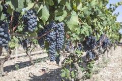 Druiven in de wijngaard klaar om wijn te maken Stock Fotografie