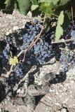 Druiven in de wijngaard klaar om wijn te maken Royalty-vrije Stock Foto's