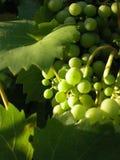Druiven in de zon Stock Afbeelding