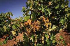 Druiven die op een wijnstok in een wijngaard groeien Stock Afbeeldingen