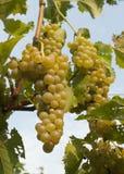 Druiven die op een wijnstok groeien Stock Afbeeldingen