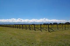 Druiven die op het wijngebied groeien van Martinborough in Nieuw Zeeland stock afbeeldingen