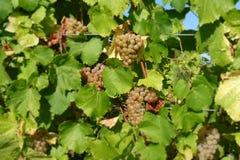 Druiven die op wijnstok rijpen Royalty-vrije Stock Afbeelding