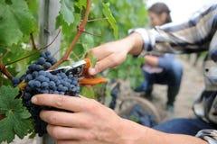 Druiven die van rij worden gesneden Royalty-vrije Stock Afbeelding