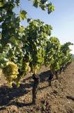 Druiven die van wijnstokken hangen Royalty-vrije Stock Fotografie