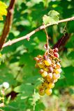 Druiven door de ziekte worden beïnvloed die royalty-vrije stock fotografie