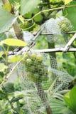Druiven door netto worden behandeld die stock afbeeldingen