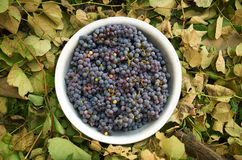 Druiven in een aluminiumbassin op een achtergrond van bladeren Stock Foto