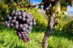 Druiven in een wijngaard Royalty-vrije Stock Afbeeldingen