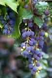 Druiven in een wijngaard Stock Afbeeldingen
