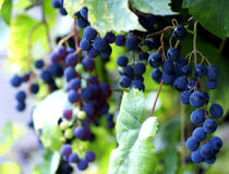 Druiven in een wijngaard Stock Fotografie