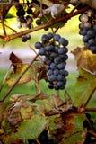 Druiven in een wijngaard Stock Afbeelding