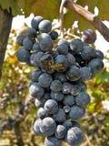 Druiven en bij Royalty-vrije Stock Afbeeldingen