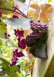 Druiven en clematissen Royalty-vrije Stock Afbeelding