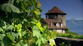 Druiven en een wijnstok op wijngaard in Zwitserland stock videobeelden