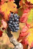 Druiven en rode de herfstbladeren Stock Foto's