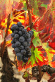 Druiven en rode druivenbladeren Royalty-vrije Stock Afbeelding