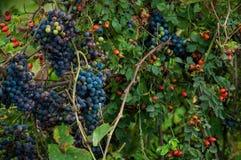Druiven en rozebottels Royalty-vrije Stock Foto
