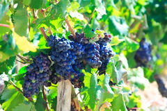 Druiven en vineleaves Royalty-vrije Stock Foto