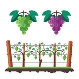 Druiven en wijngaardillustratie Stock Afbeelding