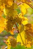 Druiven en wijnstokken in de herfst Royalty-vrije Stock Afbeelding