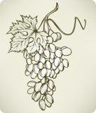 Druiven, hand-tekening, vectorillustratie. Royalty-vrije Stock Afbeeldingen