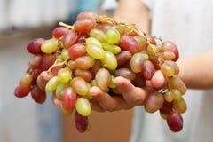 Druiven in handen Royalty-vrije Stock Afbeeldingen