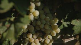Druiven het hangen van de wijngaard stock videobeelden