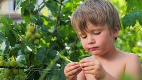 Druiven in jong geitje` s handen Kind dat Druiven eet Fruit het oogsten stock footage