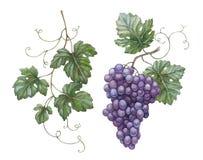 Druiven met bladeren Royalty-vrije Stock Afbeeldingen